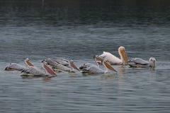 Kierdel Dalmatyński pelikan Zdjęcia Stock