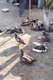 Kierdel domowe kaczki na drobiowym jardzie Zdjęcie Stock