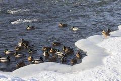 Kierdel dzikie kaczki w zimy rzece Zdjęcie Royalty Free