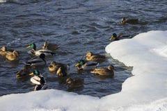 Kierdel dzikie kaczki w zimy rzece fotografia stock