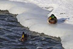 Kierdel dzikie kaczki w zimy rzece obraz royalty free