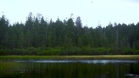 Kierdel europejczyk Łyka łowieckich insekty na jeziorze, zwolnione tempo zdjęcie wideo