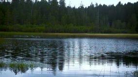 Kierdel europejczyk Łyka łowieckich insekty na jeziorze, zwolnione tempo zbiory