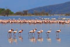 Kierdel flamingów watować Zdjęcie Royalty Free