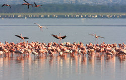 Kierdel flamingi od Nakuru Kenja Zdjęcia Stock