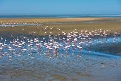 Kierdel flamingi przy Walvis zatoką, Namibia Zdjęcie Stock