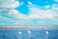 Kierdel flamingi w stawie Zdjęcia Stock