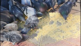 Kierdel gołębie zdjęcie wideo