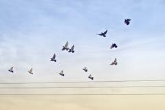 Kierdel gołębie nad władza drutami Zdjęcia Royalty Free