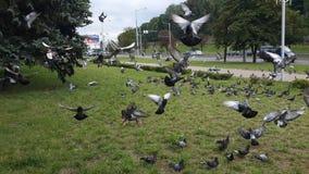 Kierdel gołębie w mieście zdjęcie stock