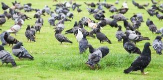 KIERDEL gołębie ŻYJE W trawie Zdjęcia Royalty Free