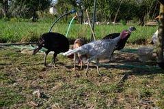 Kierdel indyki na farmyard Dziękczynienie dnia symbol Obrazy Royalty Free