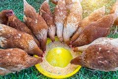 Kierdel je jedzenie kurczaki fotografia stock