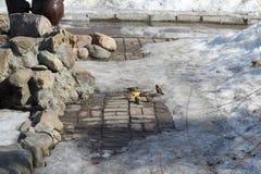 Kierdel je ziarna które rzucali one przechodniami w wczesnej wiośnie w parkowym słonecznym dniu wróble zdjęcie royalty free