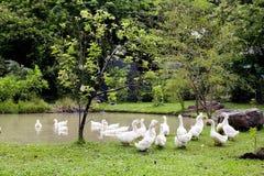 Kierdel kaczki i gąski w parku Obraz Stock