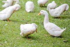 Kierdel kaczki i gąski w parku Fotografia Stock