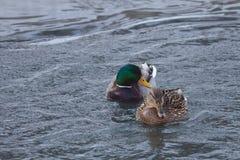 Kierdel kaczki na zimy rzece Fotografia Royalty Free