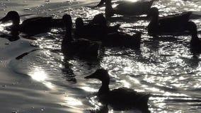 Kierdel kaczki pływa w iskrzastym jeziorze nawadnia przy zmierzchem w mo zbiory wideo