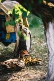 Kierdel kaczki w podwórku Zdjęcia Royalty Free