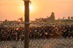 Kierdel kaczki z światła słonecznego jaśnieniem w kramu obrazy royalty free