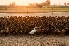 Kierdel kaczki z światła słonecznego jaśnieniem w kramu zdjęcia royalty free