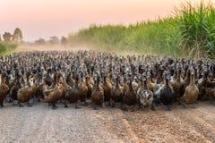 Kierdel kaczki z agriculturist gromadzi się na drodze gruntowej obraz royalty free