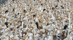Kierdel kaczki zbierać obrazy royalty free