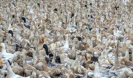 Kierdel kaczki zbierać zdjęcia stock