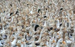 Kierdel kaczki zbierać zdjęcia royalty free