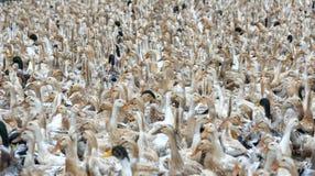 Kierdel kaczki zbierać zdjęcie stock