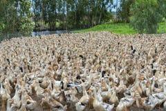 Kierdel kaczki zbierać zdjęcie royalty free