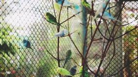 Kierdel kolorowe papugi na gałąź HD, 1920x1080 zdjęcie wideo