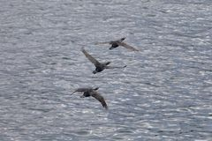 Kierdel kormoranów ptaki lata nad oceanem spokojnym obrazy royalty free