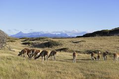 Kierdel lama na łące w Torres Del Paine, Chile Patagonia fotografia royalty free