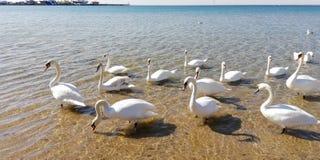 Kierdel majestatyczna biała łabędź к woda morska na słonecznym dniu fotografia stock