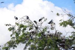 Kierdel otwarta wystawiająca rachunek bocianowa ptasia żerdź przy drzewem na niebieskim niebie i bielu obłocznym tle zdjęcia royalty free