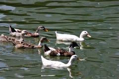 Kierdel pływa w jeziorze czarny i biały kaczki obrazy royalty free