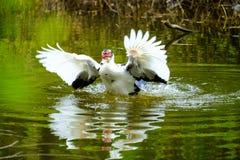 Kierdel pływa w stojących wodach domowe kaczki Obraz Royalty Free