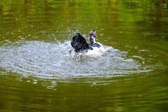 Kierdel pływa w stojących wodach domowe kaczki Fotografia Stock