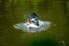 Kierdel pływa w stojących wodach domowe kaczki Obrazy Royalty Free