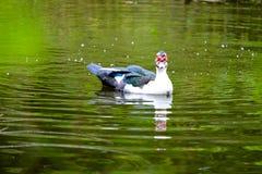 Kierdel pływa w stojących wodach domowe kaczki Obraz Stock