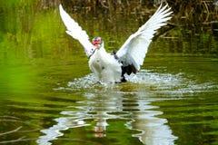 Kierdel pływa w stojących wodach domowe kaczki Fotografia Royalty Free