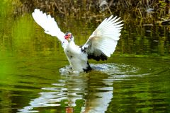 Kierdel pływa w stojących wodach domowe kaczki Zdjęcia Royalty Free