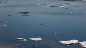 Kierdel p?ywa w rzece po zimy dzikie kaczki Kaczki p?ywanie w zimy lodowej wodzie zdjęcia stock