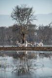 Kierdel pelikany Zdjęcie Royalty Free