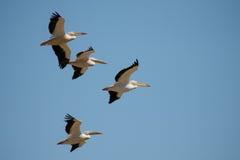 Kierdel pelikany Obrazy Royalty Free