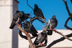 Kierdel pięć gołębi siedzi na multilevel gałąź zdjęcia stock