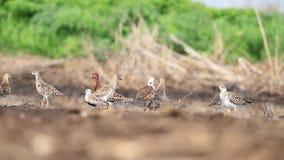 Kierdel piękni brodzowie podczas wiosny migracji jest odpoczynkowy w bagnie zdjęcie wideo