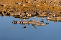 Kierdel przylądka żółwia gołąbki w ranku przy waterhole Zdjęcie Stock