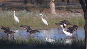 Kierdel ptaki łowi w bagna zbiory